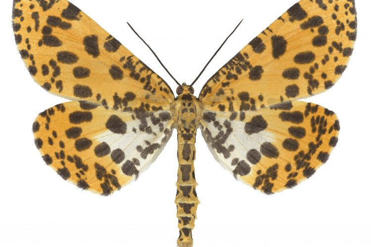 cepa-galelry-joseph-scheer-epobeidia-tigrata-leopardaria-auction-2021-min